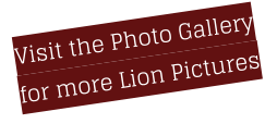 Visit the Photo Gallery for more Lion Pictures